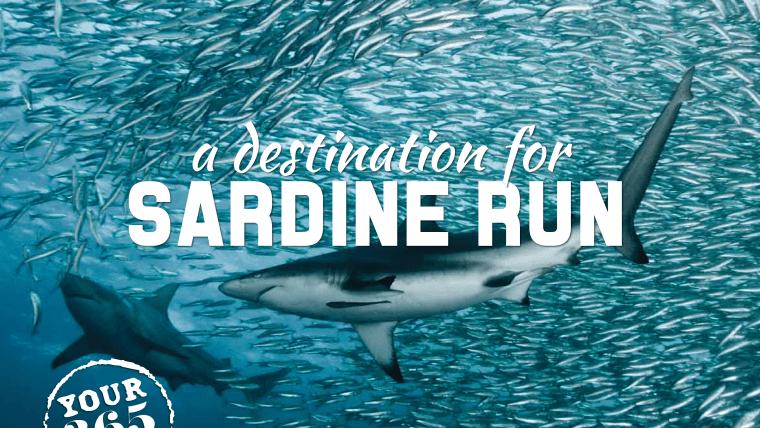 Sardine Run Update